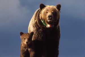 1280px-Yellowstone-grizzly-00156